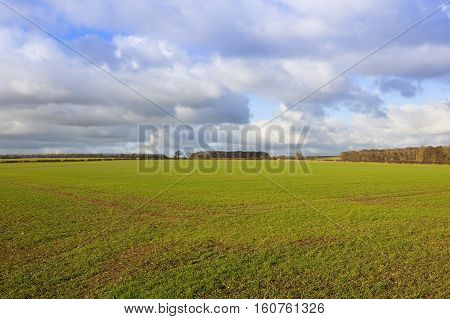 Young Winter Wheat Crop