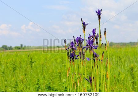 Wild blue iris flowers on the meadow