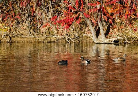 American Wigeon Resting on an Autumn Pond