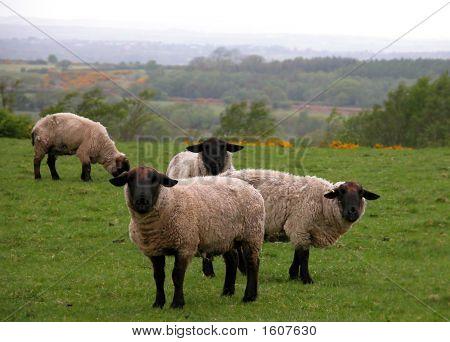 Sheep Watching You (Ovis Suffolk)