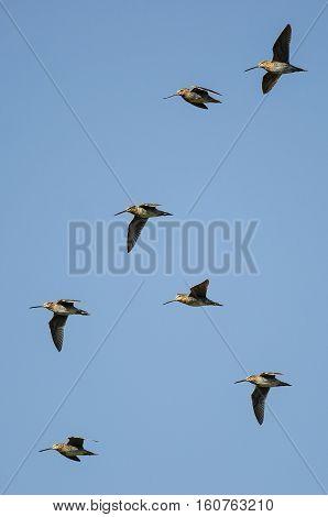 Flock of Wilson's Snipe Flying in a Blue Sky