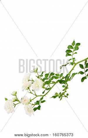 Cluster of tiney white miniature roses on stem with leaves isolated on white.