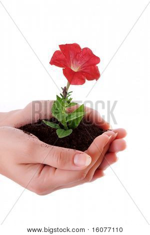 Human hands hold and a young flower