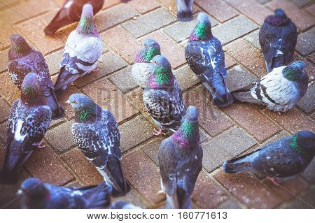 Grey pigeons standing on a cold pavement slab in winter. Beautiful pigeon close up urban dove - bird of peace in city of birds