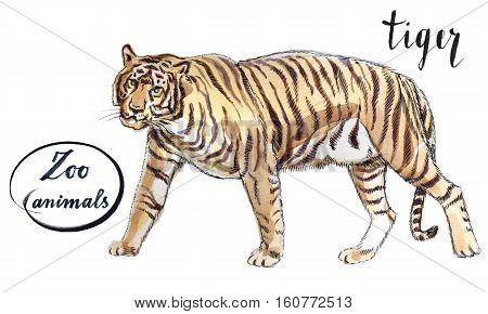 Staying striper tiger hand drawn - watercolor Illustration