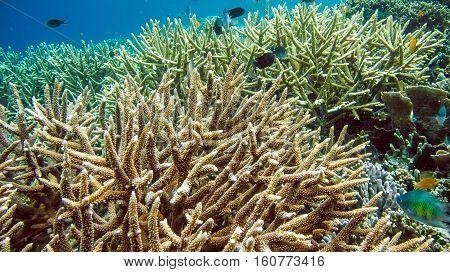 Colorful Hard Corals on Kri, Raja Ampat. Indonesia