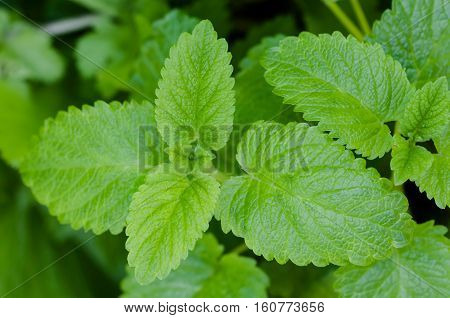 Moroccan mint tea plant green goodness organic gardening