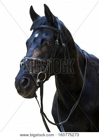 Head of the black stallion. The sight of a horse. Portrait of a sports horse in bridle. Beautiful noble animal the horse.