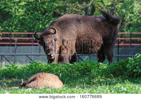 Bison And Calf In Bialowieza National Park Of Poland