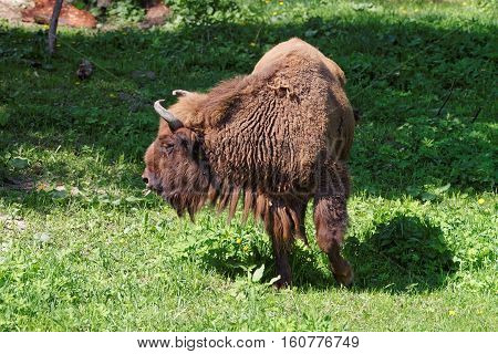 Bison In Bialowieza National Park Of Poland