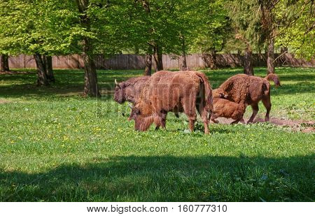Herd Of Bisons With Calf In Bialowieza National Park Reserve