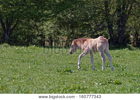 Horse Colt In Bialowieza National Park In Poland