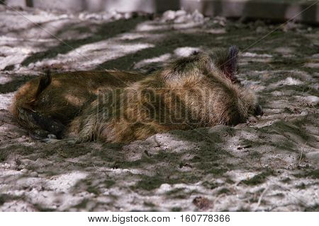Wild Boars In Bialowieza National Park In Poland