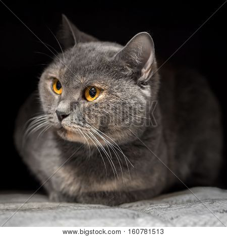 Beautiful cat with yellow eyes. The cats look at me. British purebred cat. Gentle home Pets. Animals cat in the house.