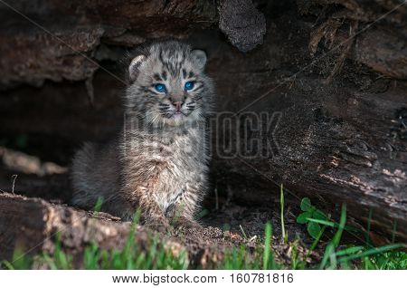Bobcat Kitten (Lynx rufus) Sits Upright in Log - captive animals