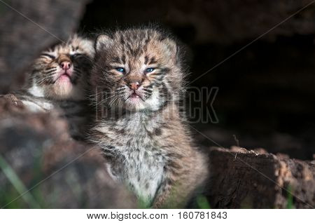 Bobcat Kittens (Lynx rufus) Look Out Over Log Edge - captive animals