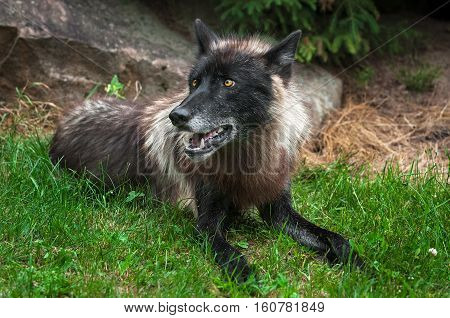 Black Grey Wolf (Canis lupus) Lies in the Grass - captive animal