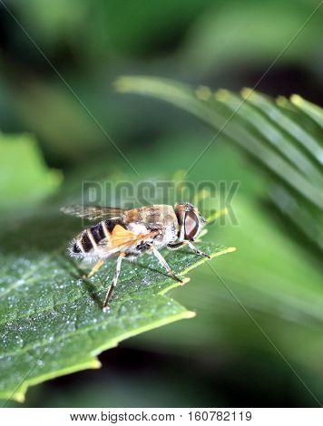Closeup of a hoverfly, or syrphid fly on a green leaf.
