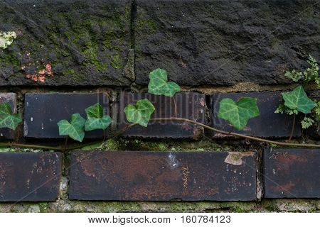 Clsoeup of green Ivy Leaves on a Stone Wall