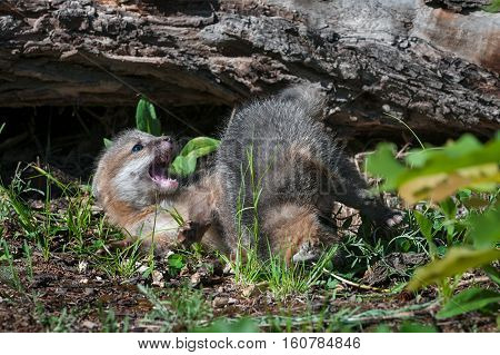 Grey Fox Kit (Urocyon cinereoargenteus) Sibling Tussle - captive animals