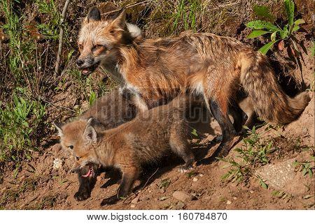 Red Fox Vixen (Vulpes vulpes) and Kits at Den - captive animals