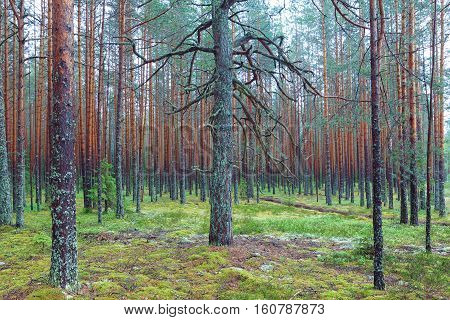 Mossy Coniferous Forest