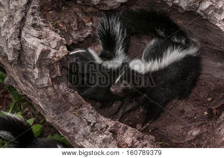 Two Striped Skunks (Mephitis mephitis) Look Left from Log - captive animals