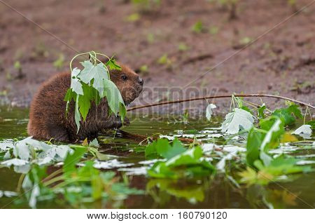 North American Beaver (Castor canadensis) Kit Appears to Fish in Pond - captive animal