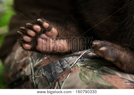 Black Bear Cub (Ursus americanus) Paw - captive animal
