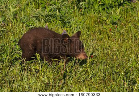 Black Bear Cub (Ursus americanus) Runs Right Through Grass - captive animal