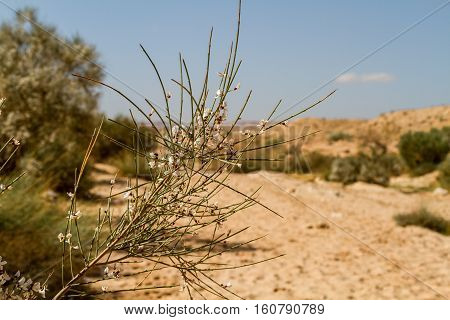Desert landscape branch with white flowers in Negev desert Israel