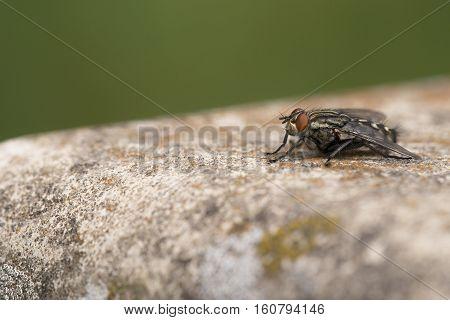 Flesh Fly (Sarcophaga carnaria) resting on Concrete