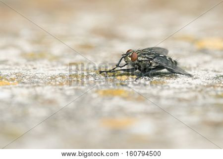 Flesh Fly (Sarcophaga carnaria) resting on Concrete cleaning itself