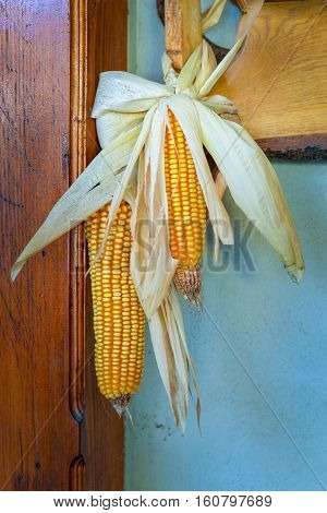 Two corn cob hunged in natural light
