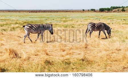 Zebra On The Dry Brown Savannah Grasslands Browsing And Grazing. Focus Is On The Zebra With The Back