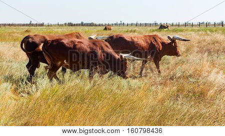 Cattle Farm Cattle Animals In Farming Rural Landscape