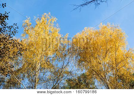 Golden crowns of the birch trees on blue sky background in autumn