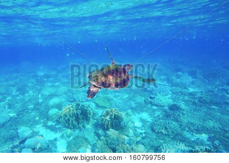 Sea turtle in blue water. Green sea turtle close photo. Lovely sea turtle closeup. Green turtle swimming in the sea. Snorkeling with turtle. Crystal clear water with bright sea life. Marine species