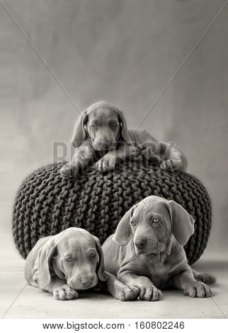 various weimar puppy in a grey pillow