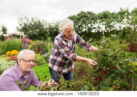 farming, gardening, old age and people concept - senior couple harvesting red currant at summer garden