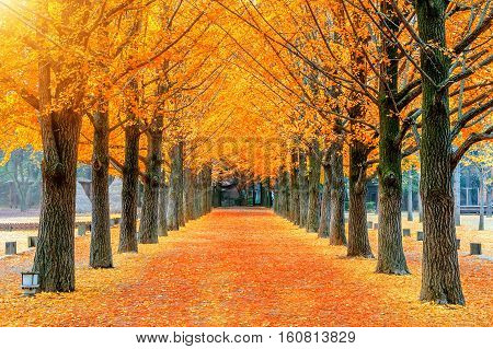 Row of yellow ginkgo tree in Nami Island Korea