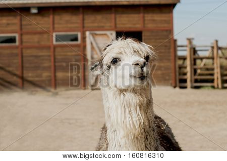 Alpaca close-up portrait in front of a barn