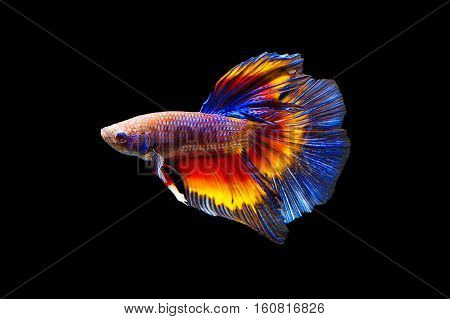 Fighting fish on black background. Beautiful fish.