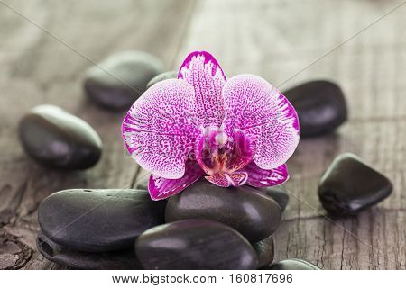 Phalaenopsis orchid and black stones close up