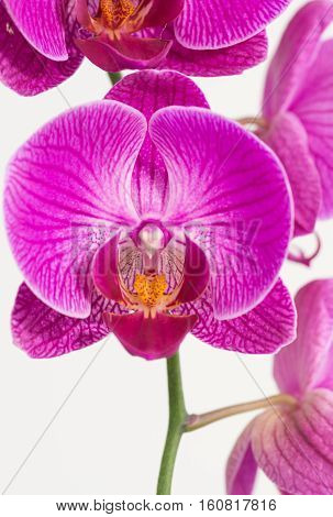 Purple and white Phalaenopsis orchids close up