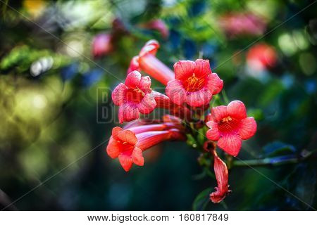 Campsis radicans flowers (trumpet vine or trumpet creeper) also known in North America as cow itch vine or hummingbird vine in Romania as Trambita Luleaua turcului.