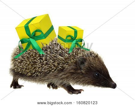 All are preparing for Christmas. Hedgehog brings gifts. Concept. Caring and holidays. ChristmYoung hedgehog with gifts in a hurry. Isolated. Christmas. Sale. Young hedgehog with gifts in a hurry.