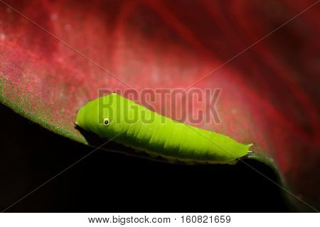 Close up green Caterpillar crawl on a leaf.