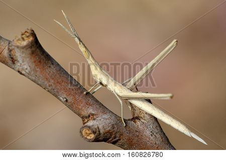 Closeup of the nature of Israel - Acrida on a branch