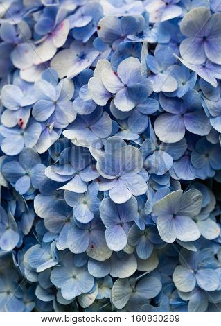 Blue Hydrangea. Hydrangea Viburnum macrocephalum, shallow depth of field and selective focus